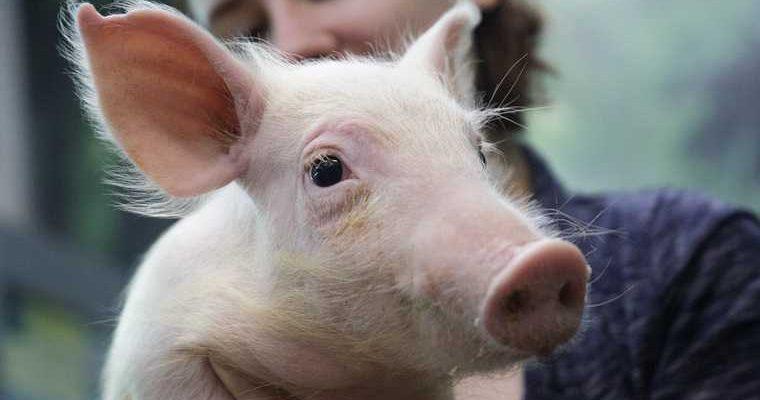 Новый штамм свиной грипп китай