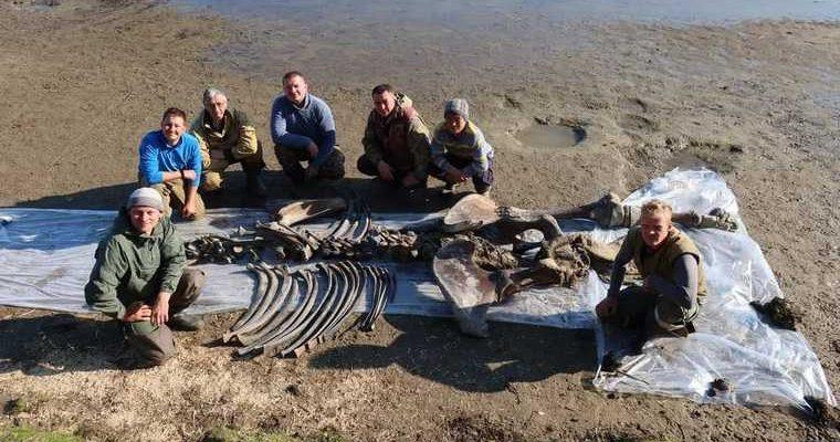 ученые показали скелет мамонта