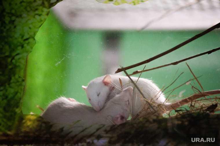 возле ТРЦ Сити Молл бегают огромные крысы