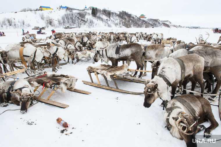 В ЯНАО массово гибнут олени. Во всем винят аномальную погоду